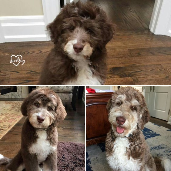 Tuuka - Aussiedoodle Puppy to Adult