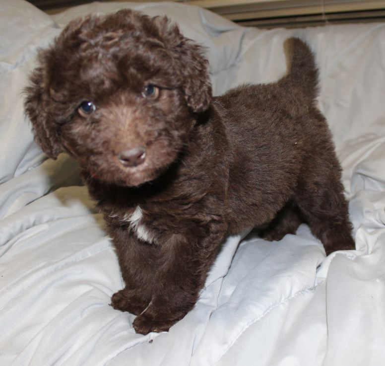 Daisy Standard Poodle Aussiedoodle And Labradoodle