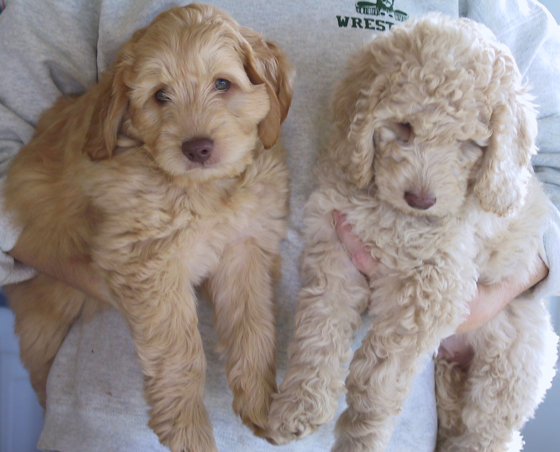 About Labradoodles Aussiedoodle And Labradoodle Puppies