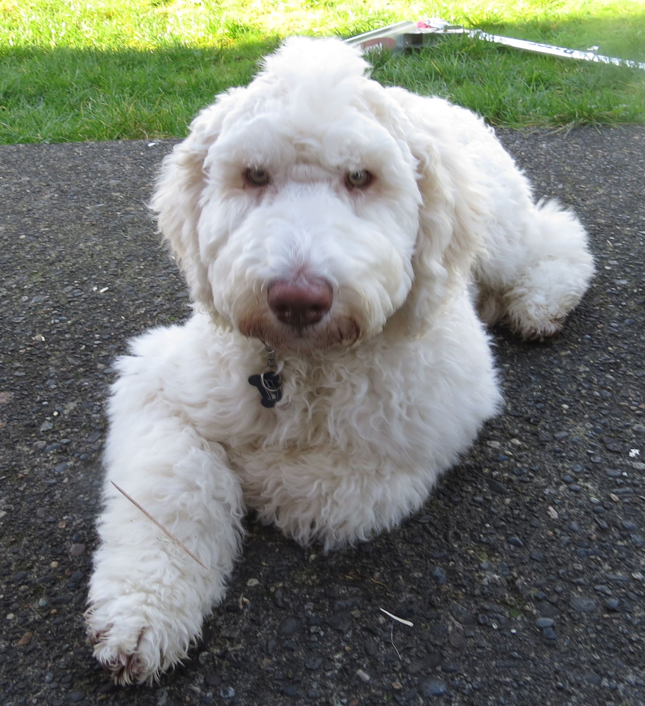 Dreamydoodles Northwest Labradoodle And Aussiedoodle