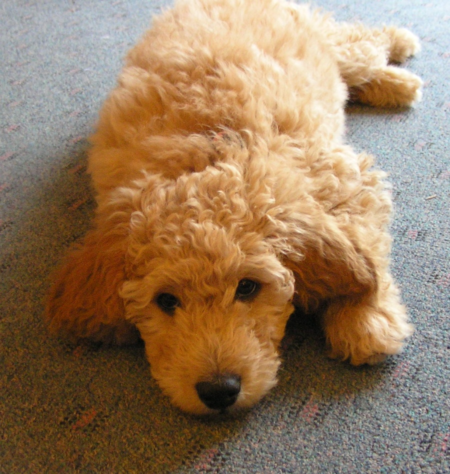 About Goldendoodles- Aussiedoodle and Labradoodle Puppies