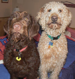 An F1 and an F1b Labradoodle side by side..