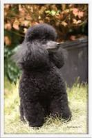 Black Toy Poodle - Puppy Weight Charts