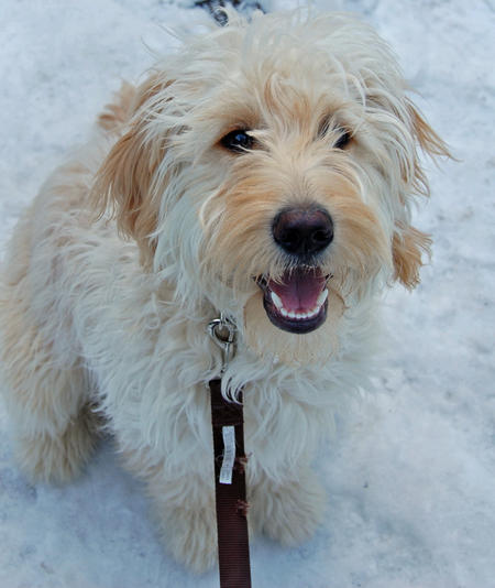 About Goldendoodles Aussiedoodle And Labradoodle Puppies