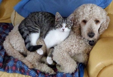 Labradoodle and cats