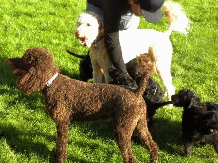 Daisy and her F1 Goldendoodle Puppy