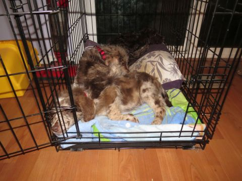 Dreamydoodle puppies sharing their crate..door left wide open and they still love it