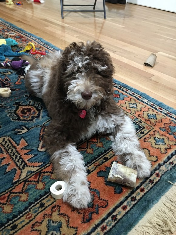 Labradoodle Ava and her Bones