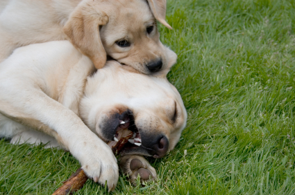 Puppies start to learn bite inhibition from their littermates and Mom