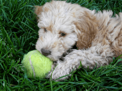 Molly our Moyen Poodle Puppy