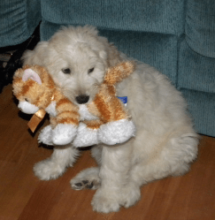 F1 Goldendoodle - Puppy Personality Testing - Testing Puppies Temperament