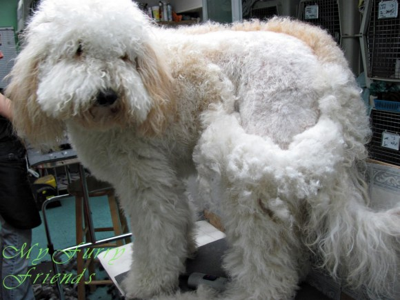 Grooming the Labradoodle - Matting