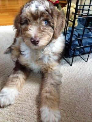 Aussiedoodle and his crate - Vaccine Protocal for Aussiedoodle puppies