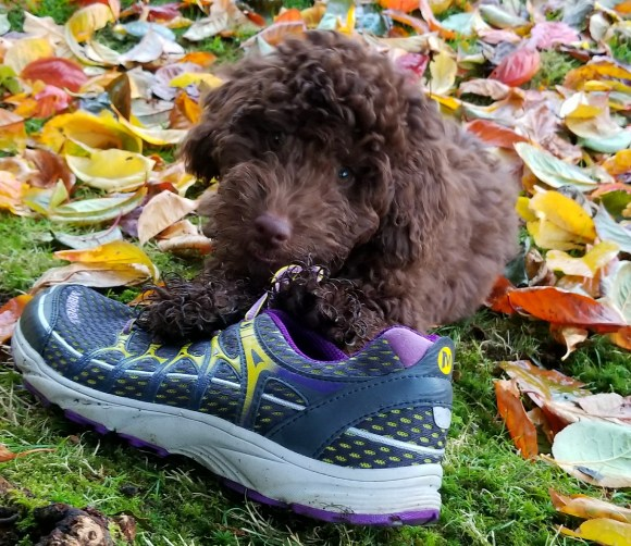 8 week old - Mini Aussiedoodle Puppy - Goose eating a shoe