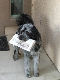 F1 Aussiedoodle Mattie Retrieving the Newspaper