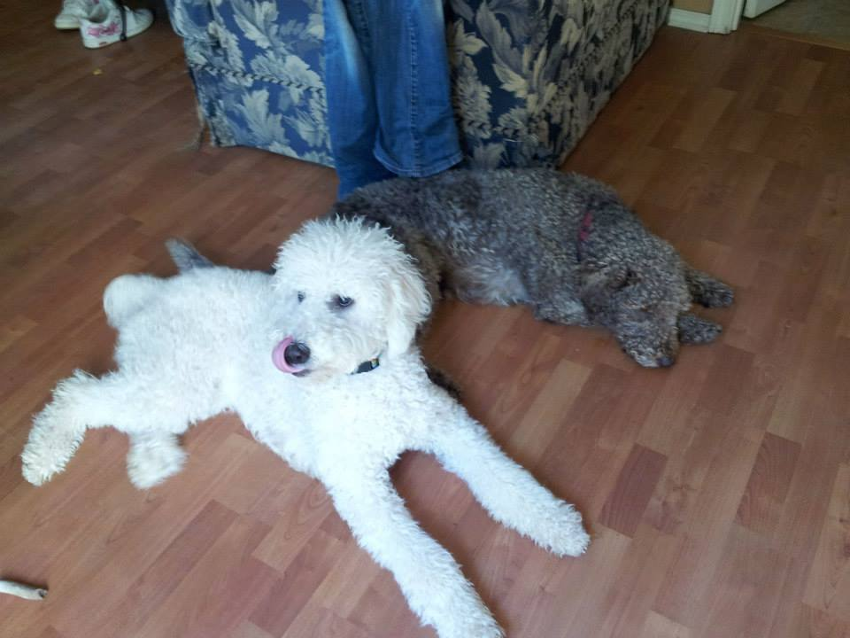 Pele and Tippy - Dreamydoodles Northwest - Poodle and Labradoodle Best Friends