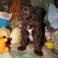 Red Collar Male 5 wks Mini Aussiedoodle