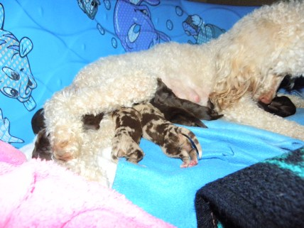 Molly and Concho's second Mini Aussiedoodle Litter