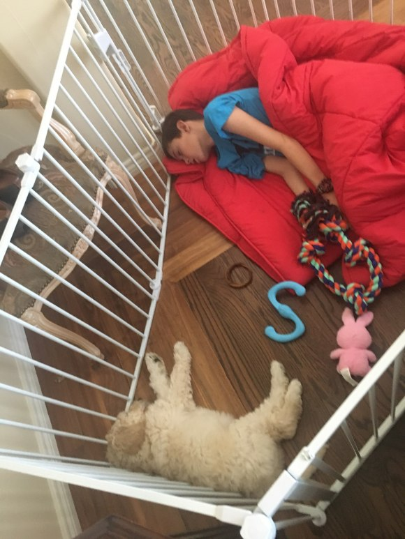 Labradoodle Cream Girl Mia sleeping in her xpen with her new best friend and bunk mat!