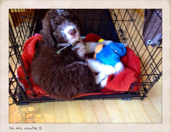 About Aussiedoodles – Aussiedoodle Puppies for Sale