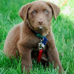 australian-shepherd-chocolate-lab-mixcharlie-the-labrador-mix-puppies-daily-puppy-kwnkgwa7