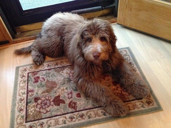 Finley - Chocolate Aussiedoodle
