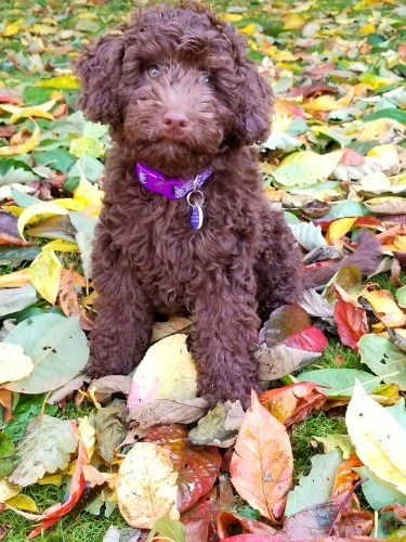Chocolate F1B Mini Aussiedoodle Puppy