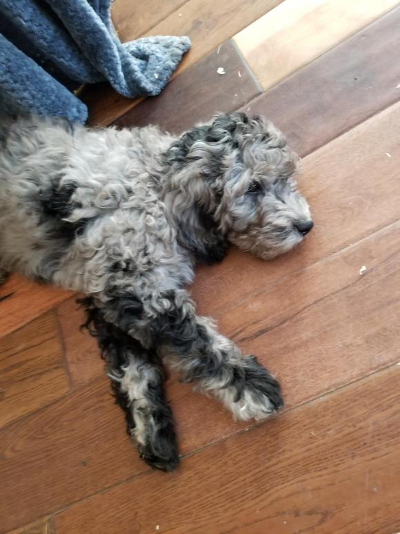 Apollo - Blue Merle Multigen Australian Labradoodle - Our New Stud!