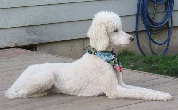 Pele - Standard Poodle Dam comes from Heritage Service Dogs