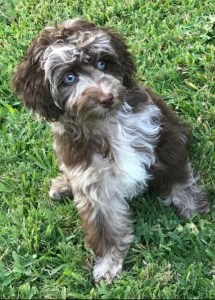 Mini Aussiedoodle Max first week home