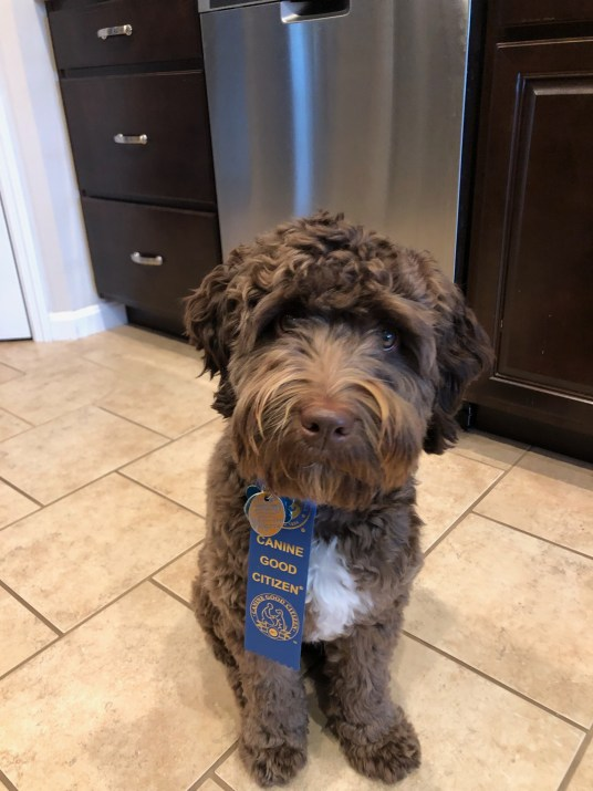 CANINE GOOD  CITIZEN TEST! CHOCOLATE F1B MINI AUSSIEDOODLE