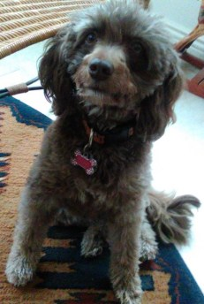 REMI - SERVICE DOG - F1 Aussiedoodle from Ivy and Tripp