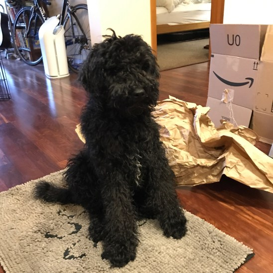 Vindaloo - Black Multigen Labradoodle From Apollo and Sissy