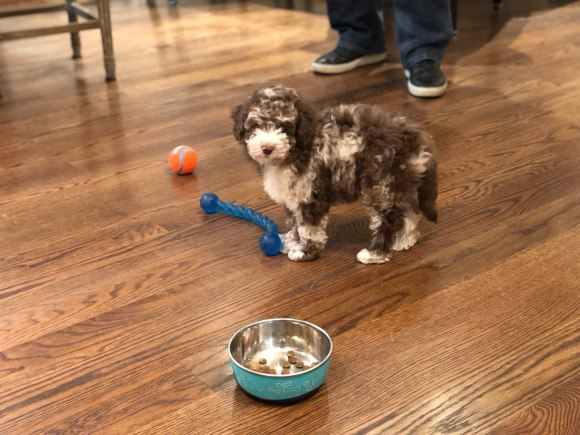 MERLE MINI AUSSIEDOODLE PUPPY WITH TOYS