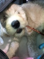 """Cream Labradoodle Puppy """"Mia"""" in her Carry-on Crate chewing on a with Beef Gullet Stick!"""