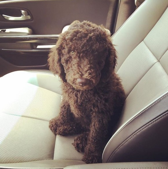 The Great Gatsby - Labradoodle Puppy - Bringing Home A New Puppy