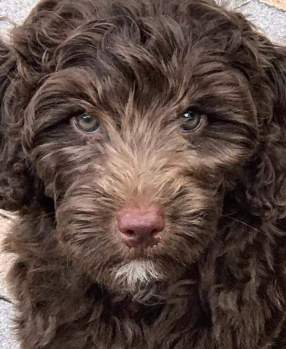 MINI AUSSIEDOODLE CHOCOLATE PUPPY - DREAMYDOODLES NW