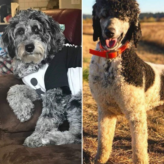 BETTY AND PRINCE - F1B STANDARD AUSSIEDOODLE PARENTS