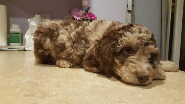 Aussiedoodle Puppy from Daisy! Red Merle Color
