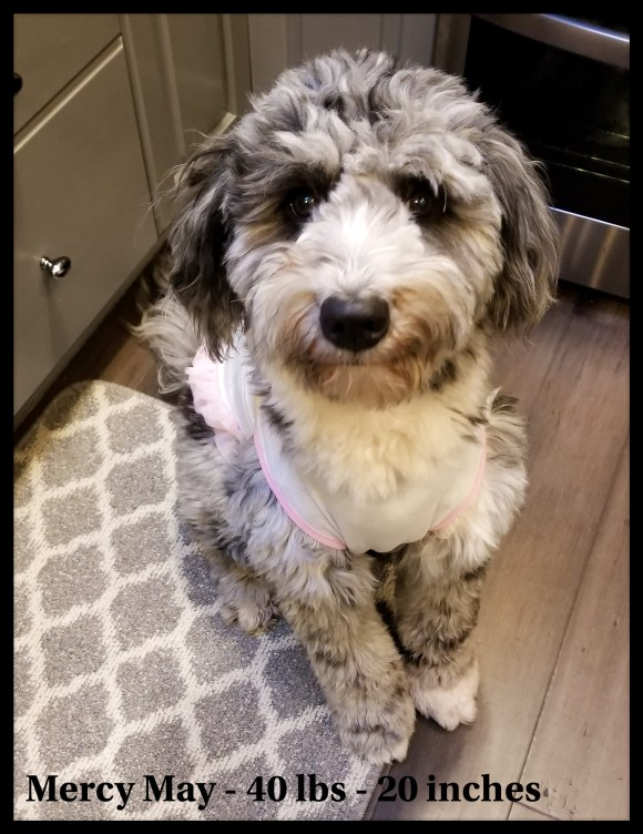 Mercy May Dreamydoodles Aussiedoodle