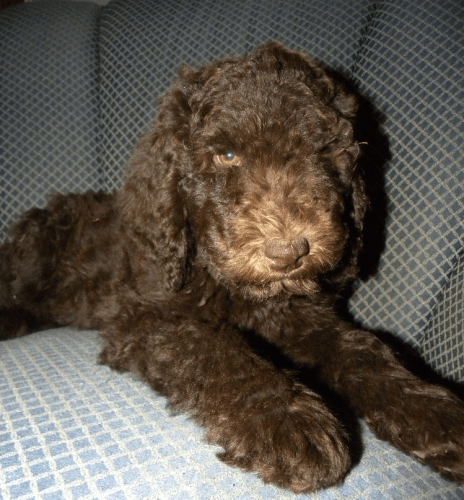 Baby Maddie - Chocolate F1B Labradoodle Puppy