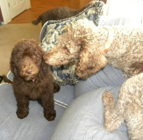 Labradoodle Puppy and her Mommy..