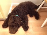 Labradoodle Puppy from Daisy