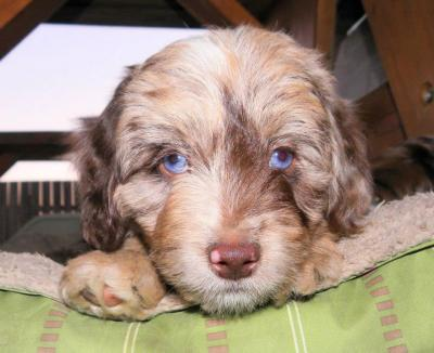 Nash - F1 Mini Aussiedoodle from Dreamydoodles.com