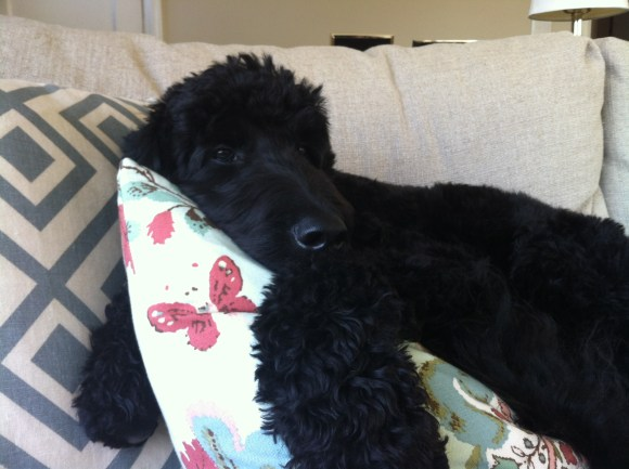 Cooper on sofa -Black F1 Goldendoodle from Daisy