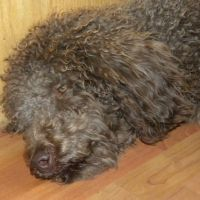 Tippy ...OVERGROWN.. and matted...F1 Labradoodle