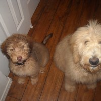 Aussiedoodle and Goldendoodle Pals