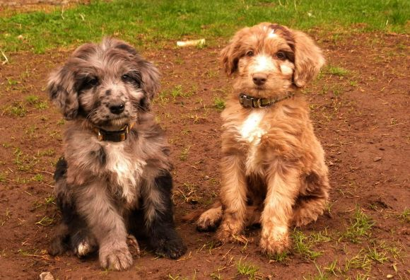 F1 Red and Blue Merle Aussiedoodles in the yard - 8 weeks old