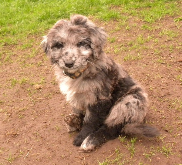 The Merle Coat Color Explained Aussiedoodle and