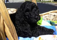 3 1/2 week old Male Black F1b Goldendoodle